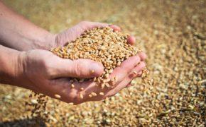 Оренбуржье обеспечено на 100 процентов семенами для ярового сева